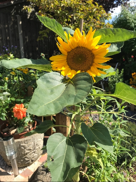 A sunflower standing tall in my mum and dads garden