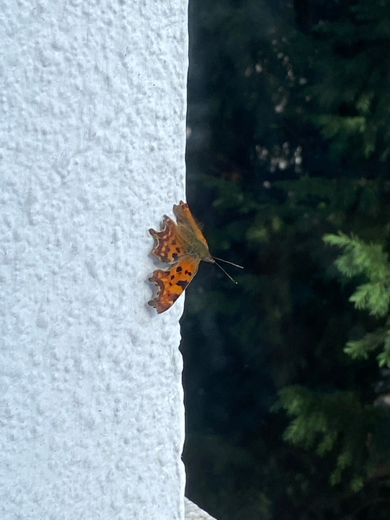 Comma butterfly resting on a white wall with a tree in the background