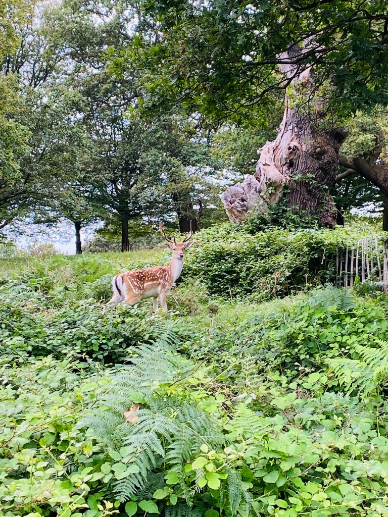 A deer with antlers amongst ferns and trees. The deer is looking directly at the camera